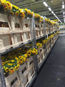 Aalsmeer. Sunflowers are my favorites!