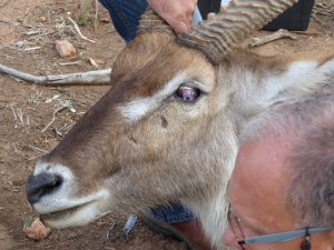 Waterbuck bull with a damaged eye