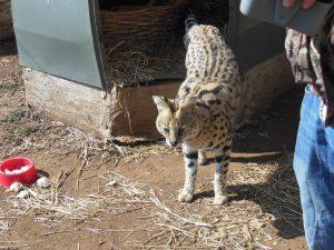 The serval, Tigger